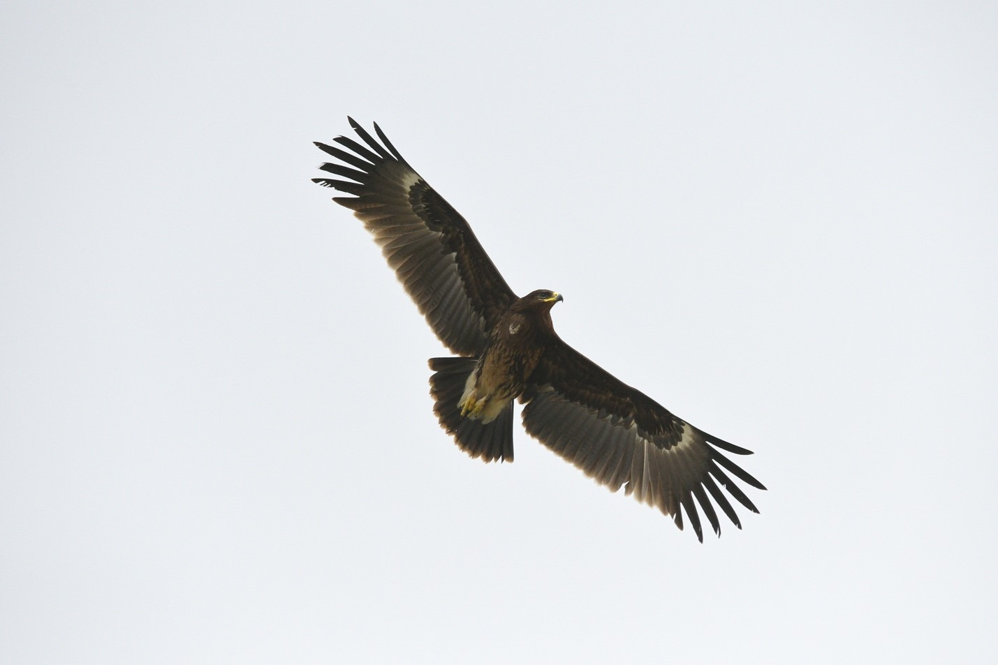 Flying Greater Spotted Eagle