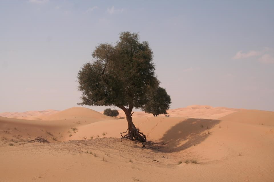 Ghaf tree in desert